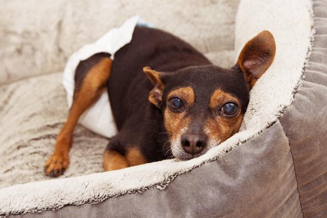 避妊手術 犬 ヒート